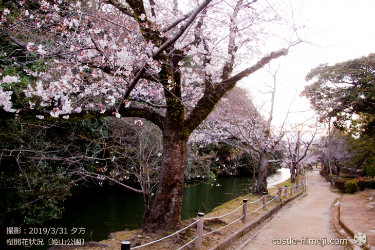 cherry-blossoms20190331_out1_16