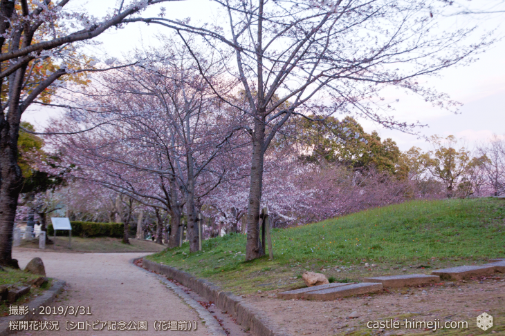 cherry-blossoms20190331_out2_03