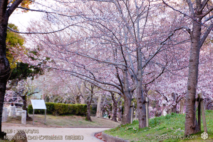 cherry-blossoms20190331_out2_04