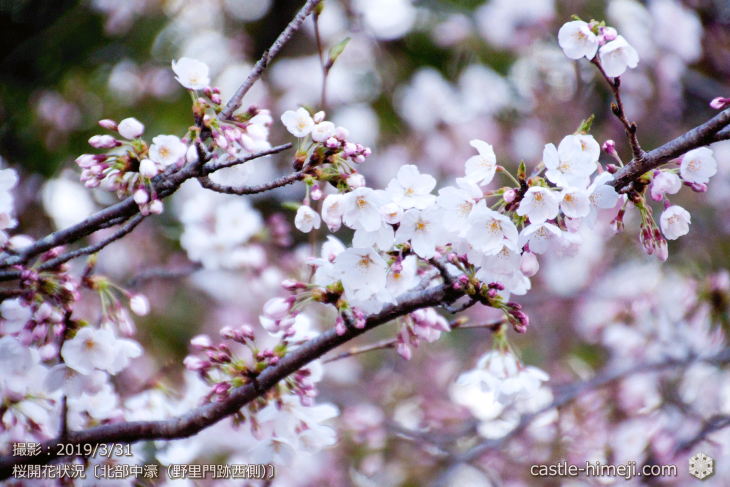 cherry-blossoms20190331_out2_06