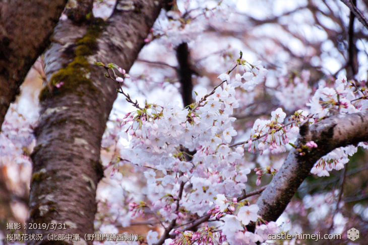 cherry-blossoms20190331_out2_08