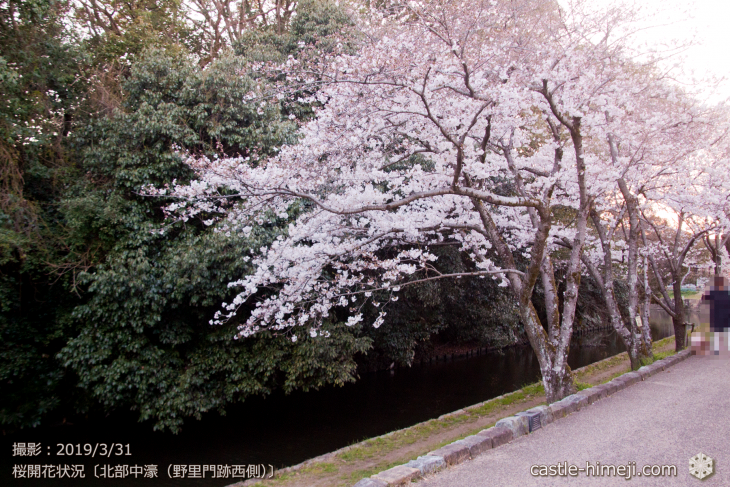 cherry-blossoms20190331_out2_10