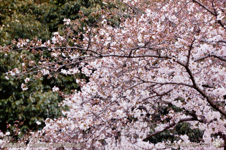 cherry-blossoms20190331_out2_11