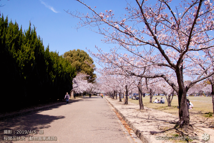 cherry-blossoms20190402_out2_12