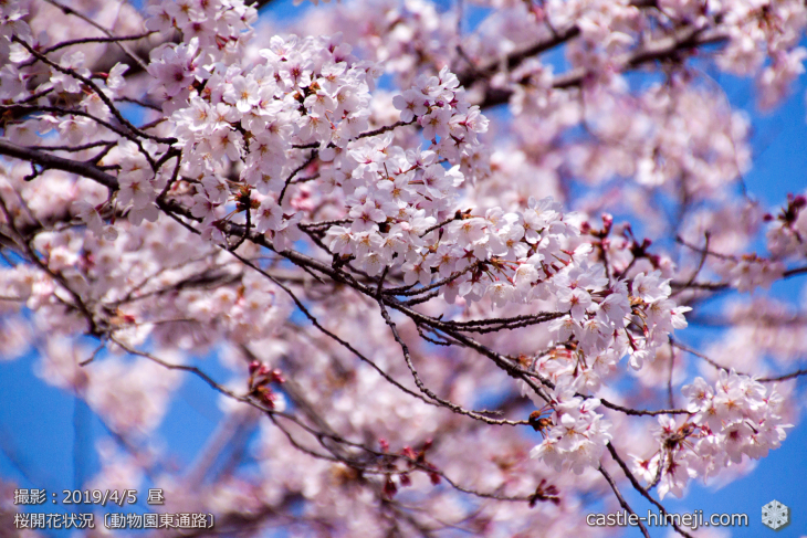 cherry-blossoms20190402_out2_14