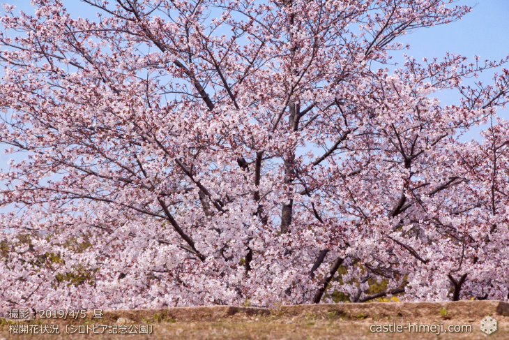 cherry-blossoms20190402_out3_06