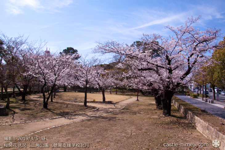 cherry-blossoms20190402_out3_17