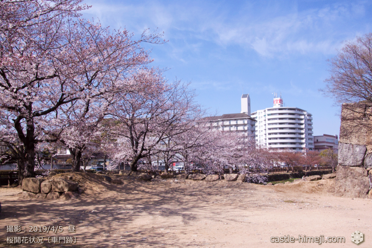 cherry-blossoms20190402_out3_19