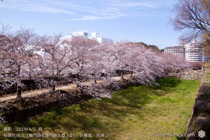 cherry-blossoms20190402_out3_22