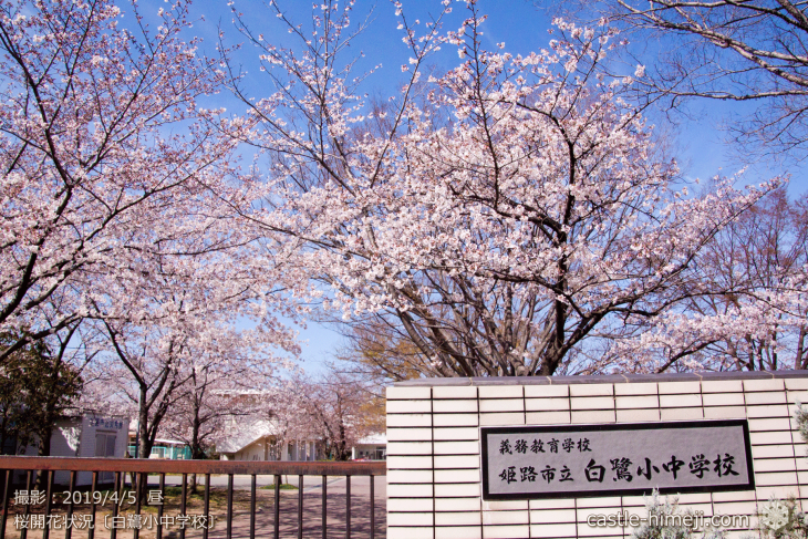 cherry-blossoms20190402_out4_02