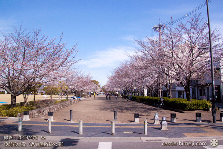 cherry-blossoms20190402_out4_04