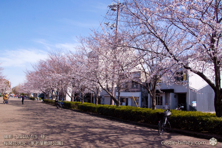 cherry-blossoms20190402_out4_05