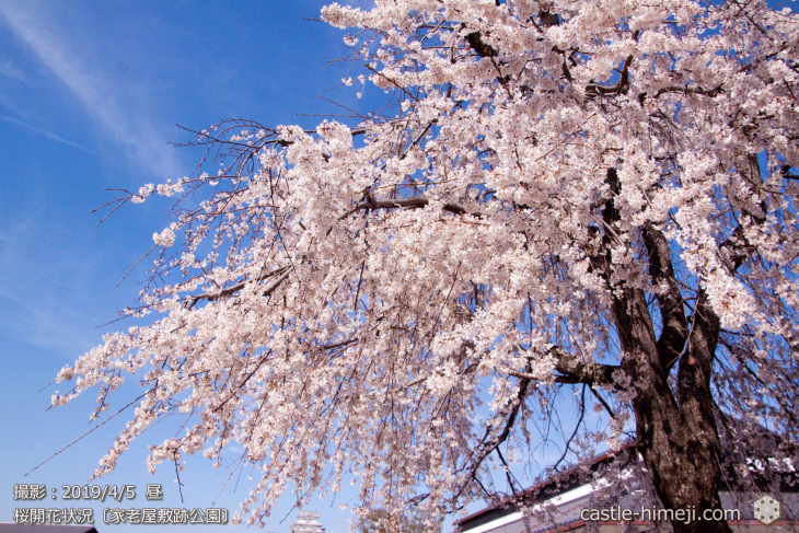 cherry-blossoms20190402_out4_06