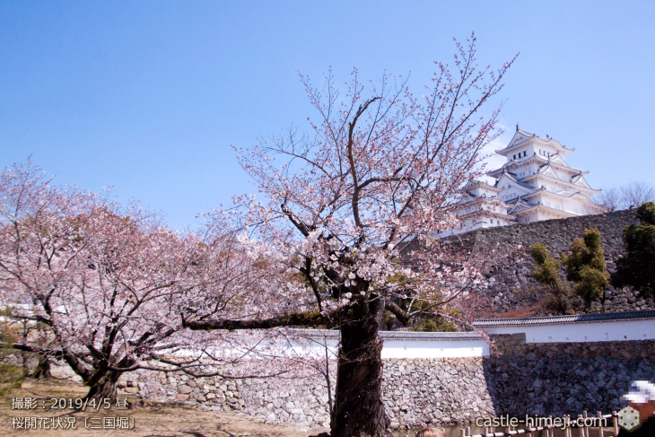 cherry-blossoms20190405_in1_02
