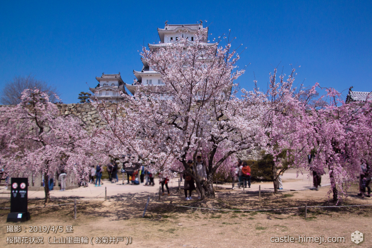 cherry-blossoms20190405_in1_12