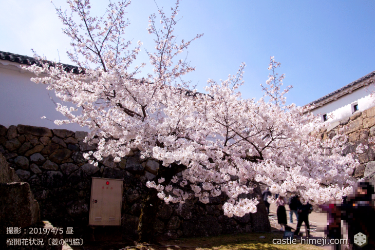 cherry-blossoms20190405_in1_20