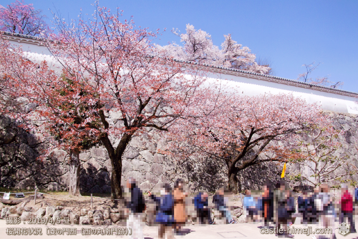 cherry-blossoms20190405_in1_21