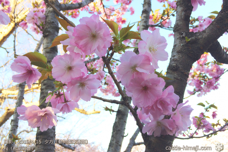 cherry-blossoms20190415_out3_03