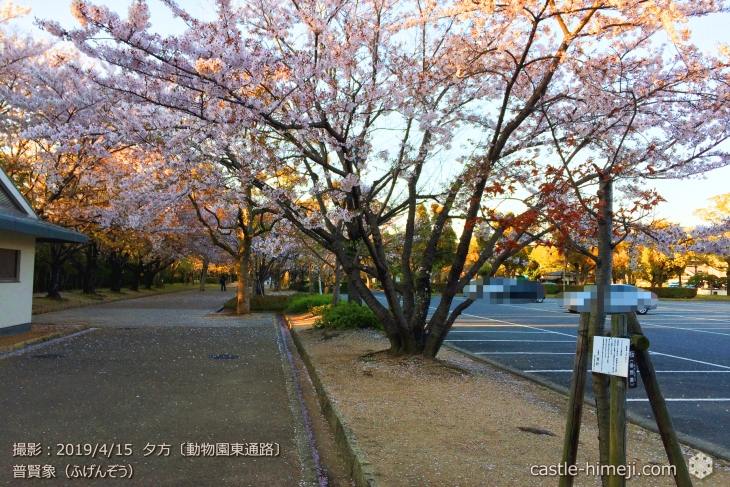 cherry-blossoms20190415_out3_10