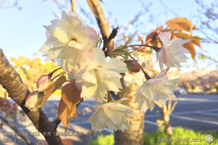 cherry-blossoms20190415_out3_15
