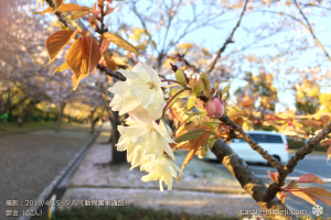 cherry-blossoms20190415_out3_16