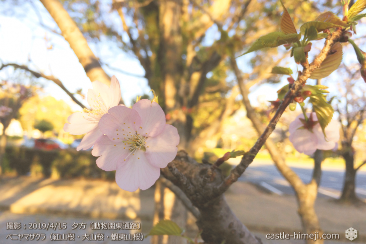 cherry-blossoms20190415_out3_19