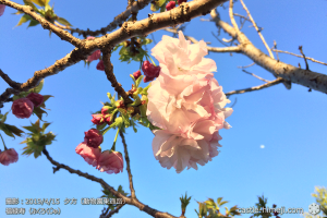 cherry-blossoms20190415_out3_23