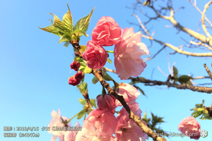 cherry-blossoms20190415_out3_24