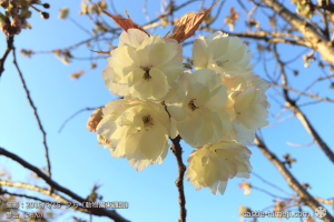 cherry-blossoms20190415_out3_27