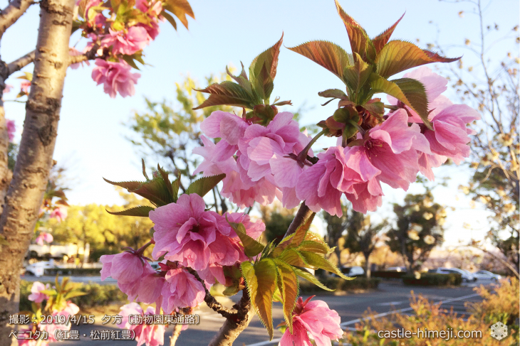 cherry-blossoms20190415_out3_32