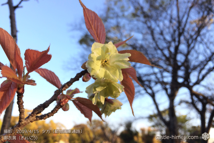 cherry-blossoms20190415_out3_35