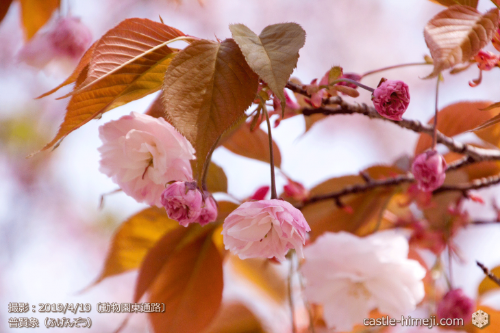 cherry-blossoms20190419_out1_03