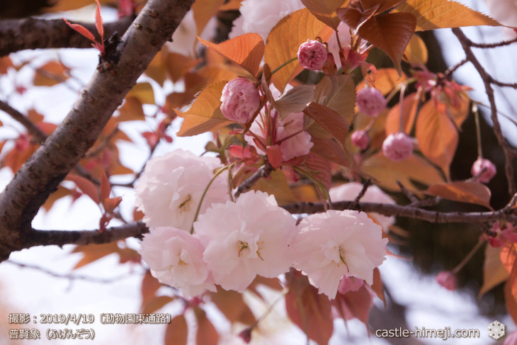 cherry-blossoms20190419_out1_04