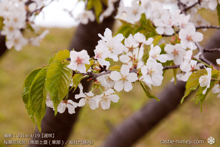 cherry-blossoms20190419_out1_07