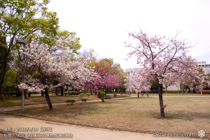 cherry-blossoms20190419_out1_08