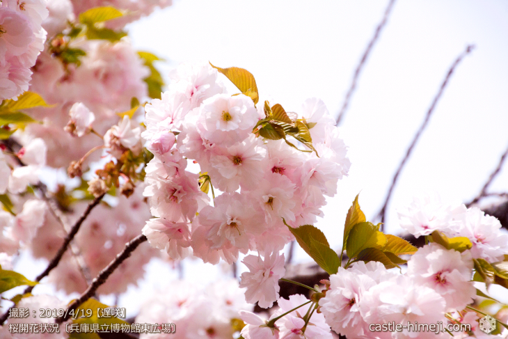 cherry-blossoms20190419_out1_09