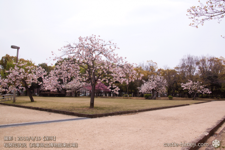 cherry-blossoms20190419_out1_11