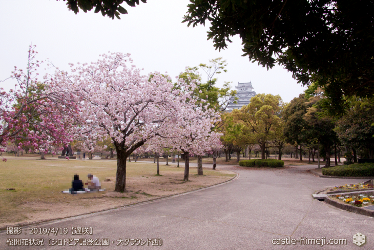 cherry-blossoms20190419_out1_15