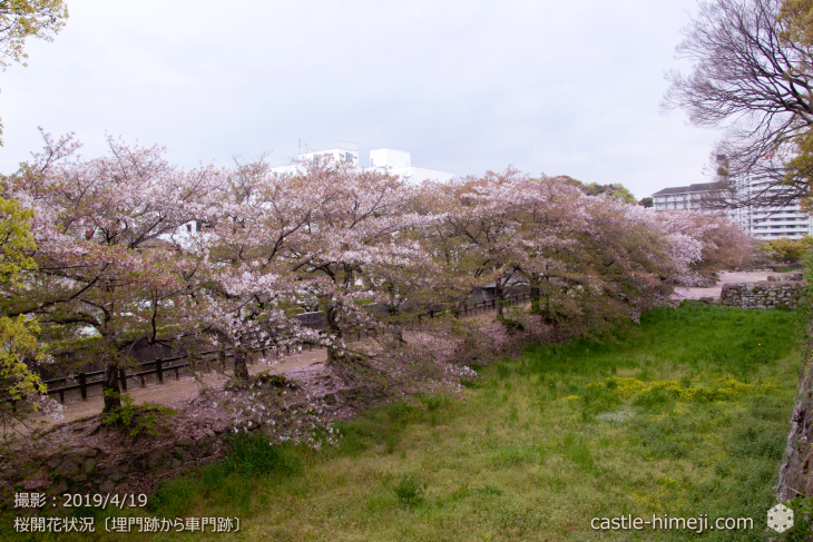 cherry-blossoms20190419_out1_22