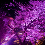 eye_cherry-blossoms-night_1st
