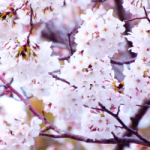 eye_cherry-blossoms20190402_out1