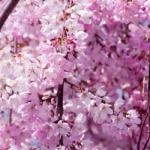 eye_cherry-blossoms20190405_in1