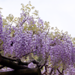 eye_wisteria-flowers20190425
