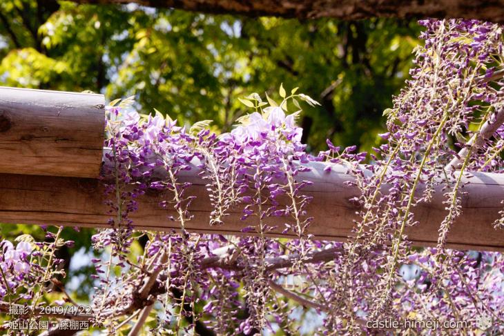 wisteria-flowers20190422_02