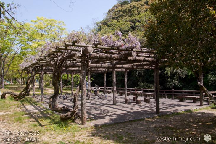 wisteria-flowers20190422_03