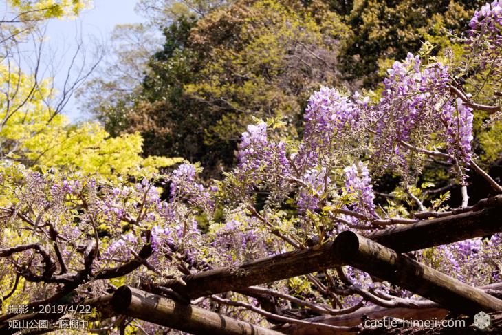 wisteria-flowers20190422_04