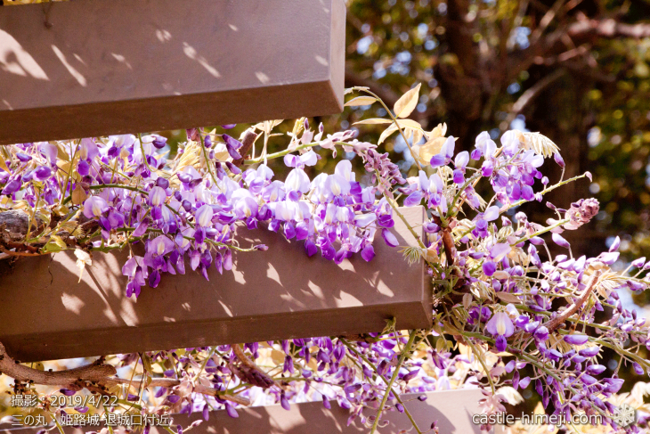 wisteria-flowers20190422_10