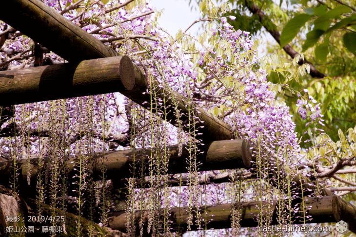 wisteria-flowers20190425_02