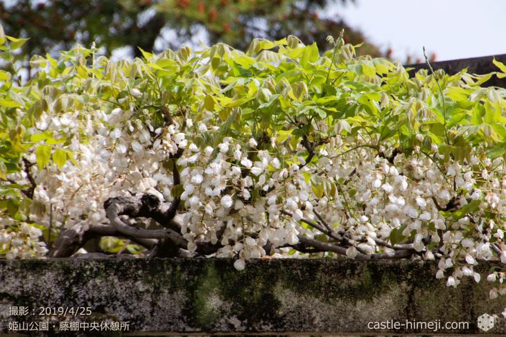wisteria-flowers20190425_04