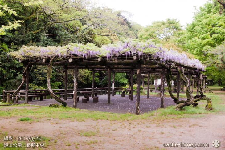 wisteria-flowers20190425_05